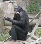 BonoboClap_101102_350.jpg